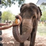 elephant at the fort worth zoo holding a number one with trunk