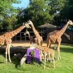 fort worth zoo giraffes with number one