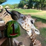 fort worth zoo giraffe with number one watermelon