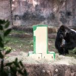 gorilla at the fort worth zoo with number one
