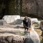 fort worth zoo gorilla with number one watermelon