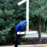 hyacinth macaw at fort worth zoo with number one