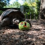 fort worth zoo tortoise #1 watermelon