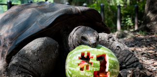 fort worth zoo #1 tortoise with watermelon