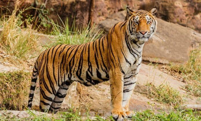 tiger standing