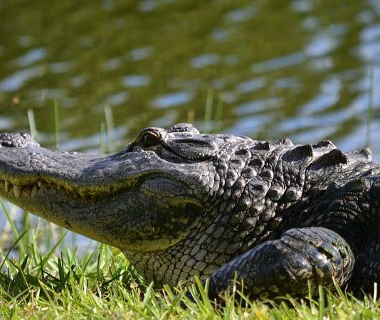 gator sunbathing lake worth texas