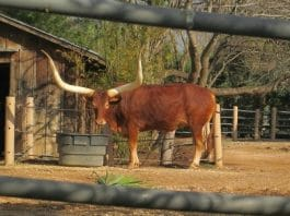 texas longhorn at the houston zoo behind closed fence